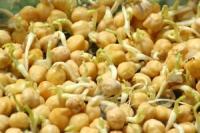 пшеничен затродиш